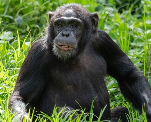 Kibale Chimpanzee