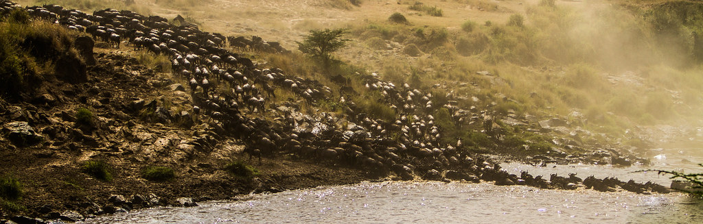 Wildebeest migration1