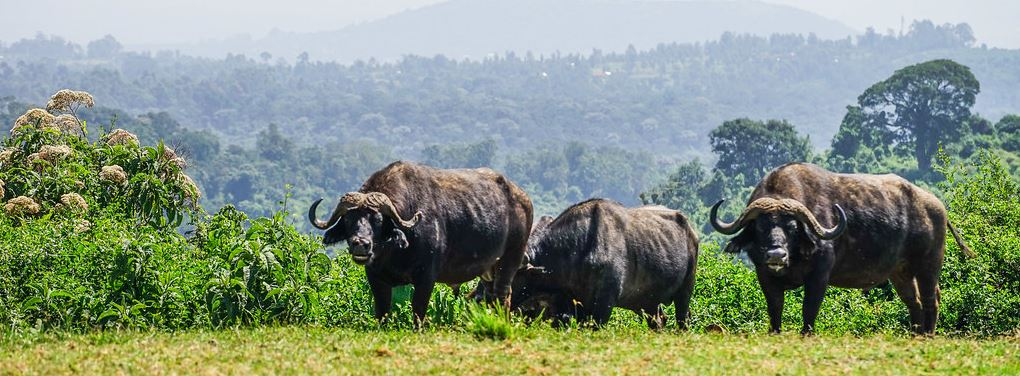 Buffaloes in Aberdare National Park