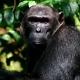 Kyambura Gorge Chimp