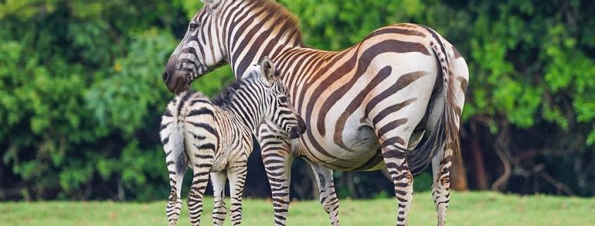 Mt Elgon Zebras