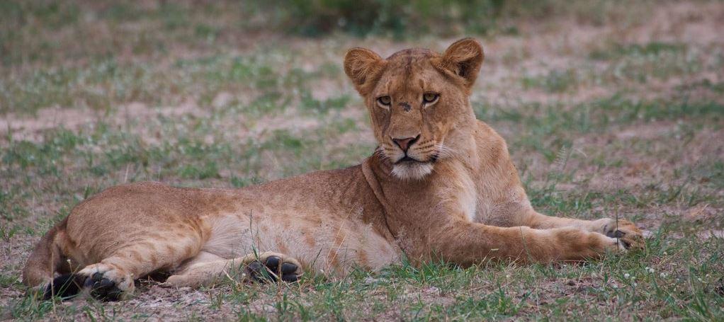 Murchison Falls National Park Lioness