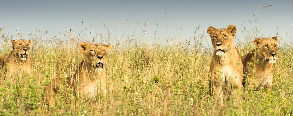 Nairobi National Park Lionesses