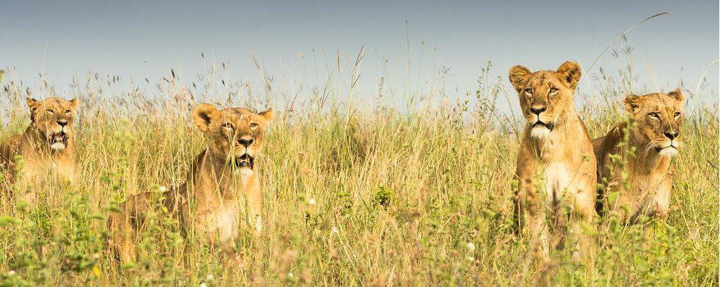 Nairobi National Park Lionesses