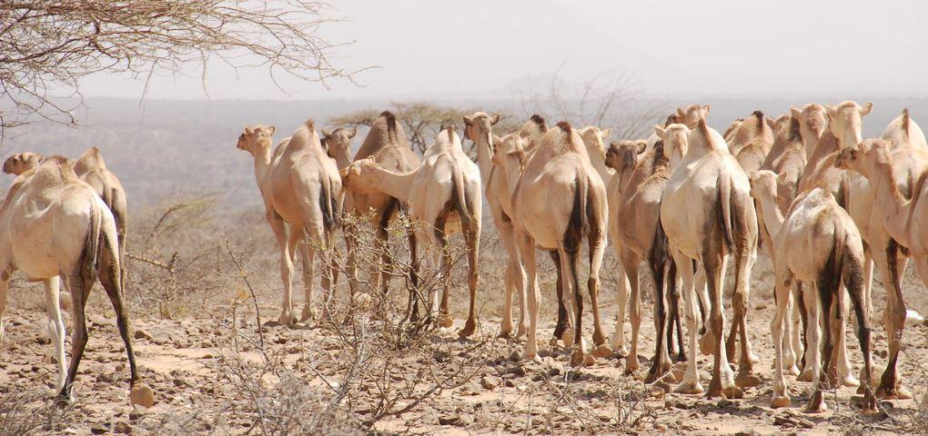 Camels in Samburu