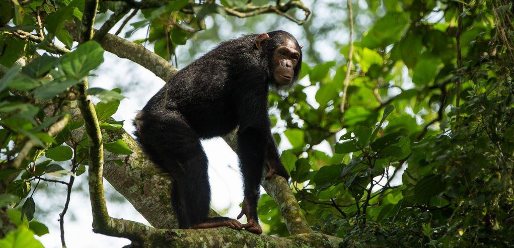 Virunga Chimpanzee