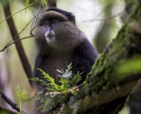Golden Monkey In Uganda