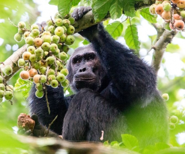 Nyungwe Chimp