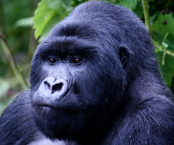 Rwanda Gorilla And Primates