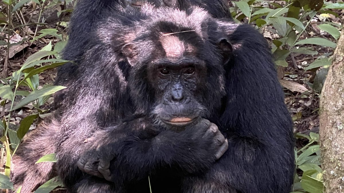 Likely-Post-COVID-19-Chimpanzee-trekking-discounts-in-Budongo-Forest-1200x675