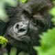 Flyin Safari mountain Gorilla