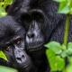 Gorillas Bwindi