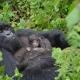 Mother-gorilla