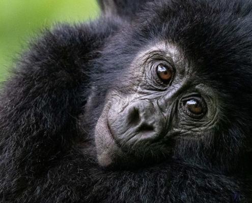 infant-gorilla-uganda