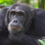 kibale-forest-chimp-habituation