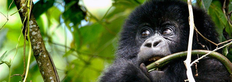 mountain-gorilla-facts