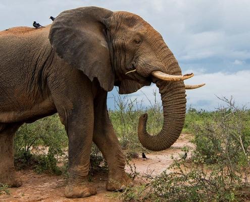 Elephant in Murchison falls